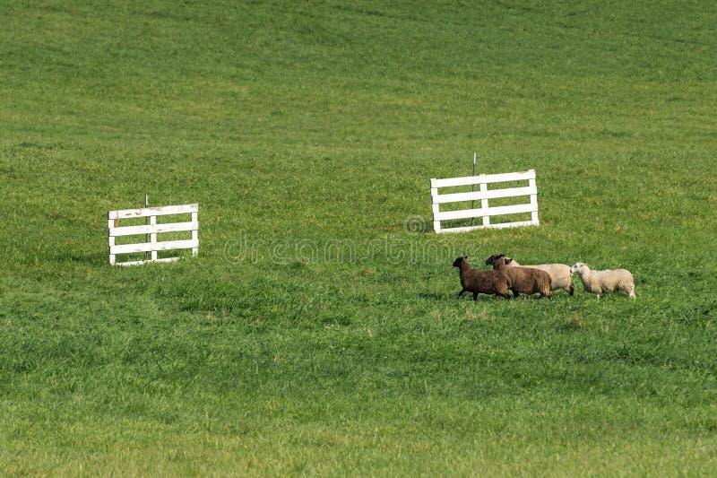 O quarteto do aries do Ovis dos carneiros corre para portas fotos de stock
