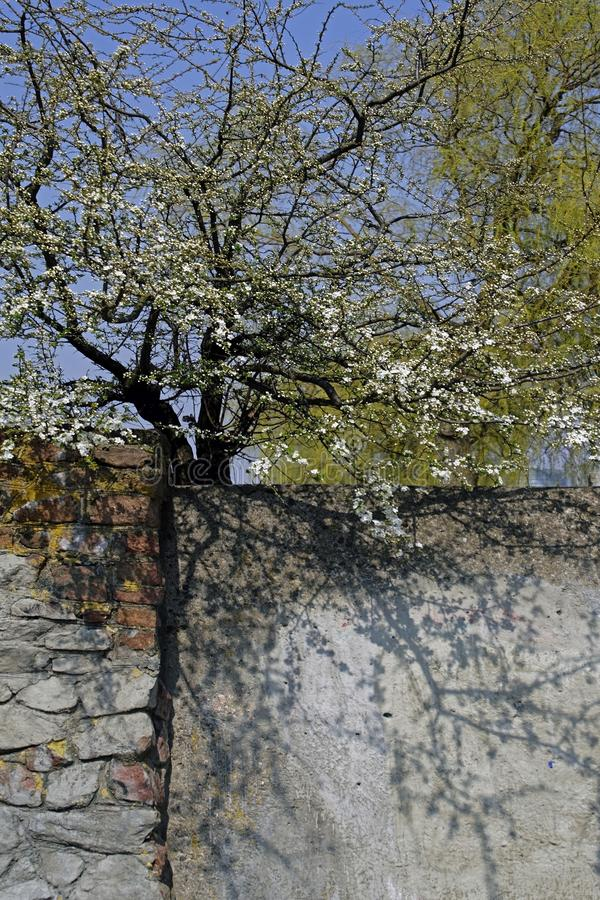 o r apse Άνθισμα έναρξης Όμορφες σκιές και άσπρα λουλούδια στους κλάδους στοκ φωτογραφία με δικαίωμα ελεύθερης χρήσης