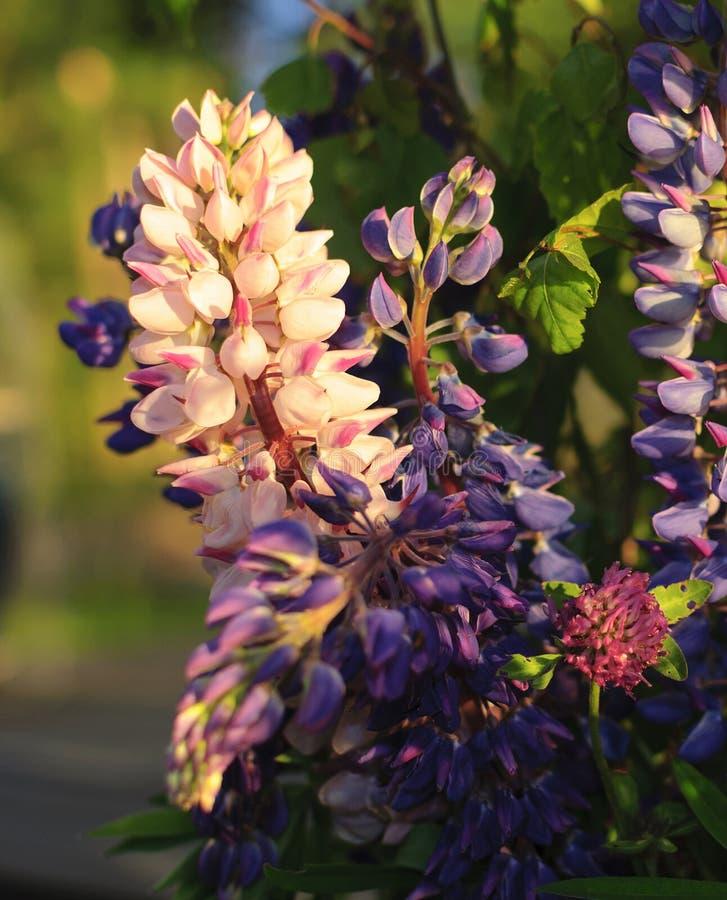 O ramalhete da floresta selvagem dos plenos verões floresce - lupines frescos e clo imagem de stock