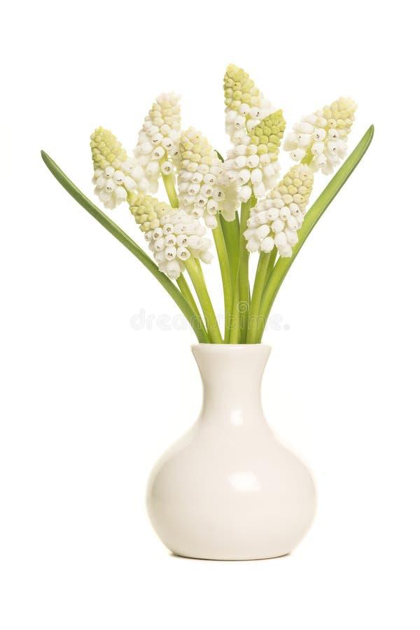 O ramalhete de jacintos de uva branca floresce em um isolado branco do vaso fotos de stock