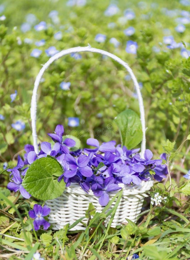 O ramalhete de violetas roxas bonitas floresce em uma cesta branca fotos de stock