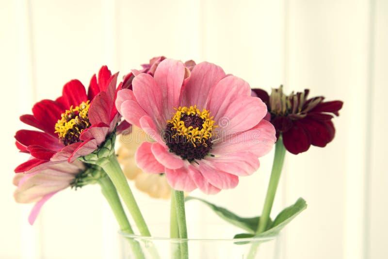 O ramalhete do zinnia cor-de-rosa floresce em um vaso isolado indoor Copie o espaço fotografia de stock royalty free