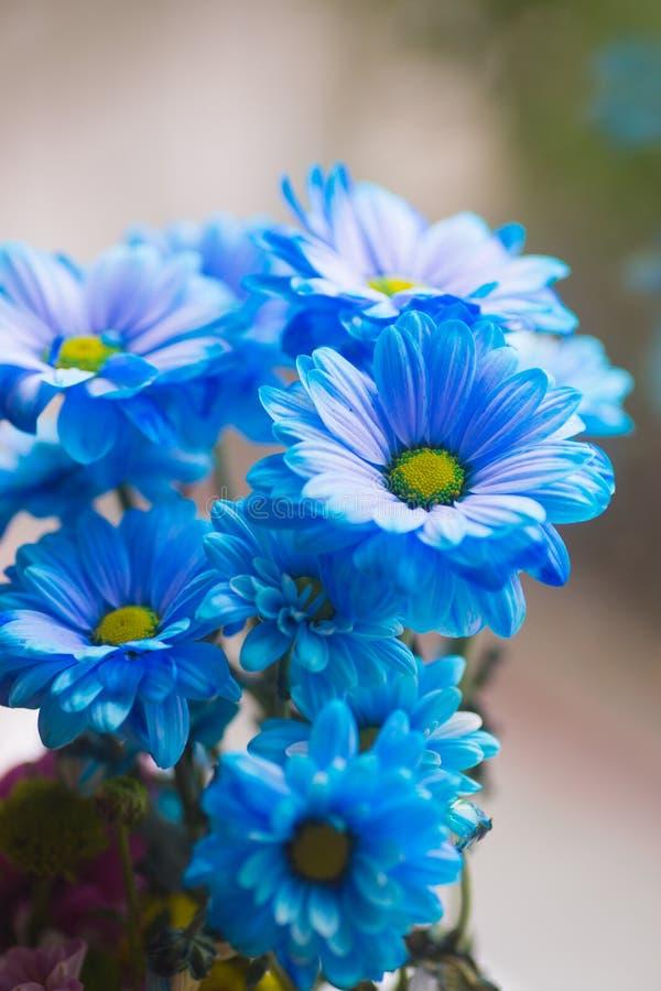 O ramalhete fresco macio do azul pintou crisântemos perto da janela na luz do dia fotos de stock