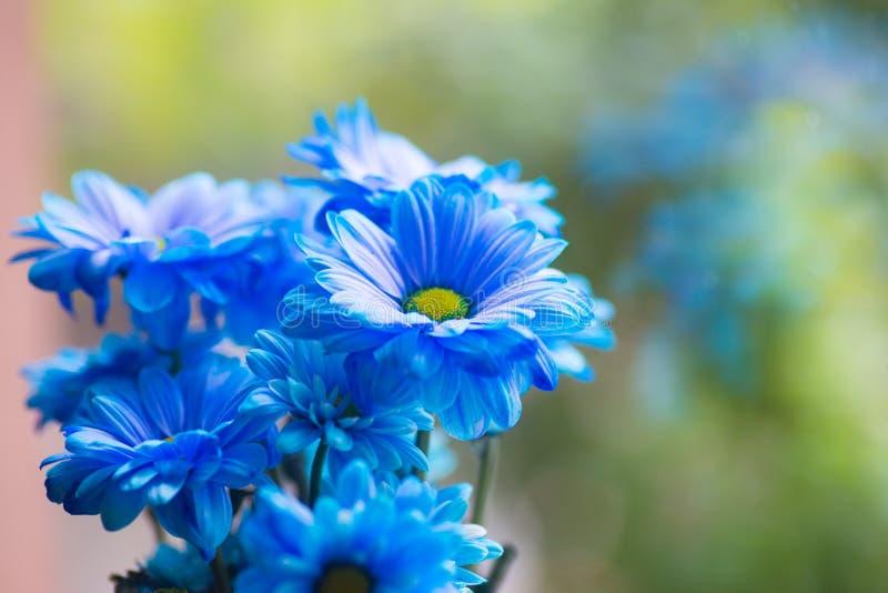 O ramalhete fresco macio do azul pintou crisântemos perto da janela na luz do dia foto de stock royalty free