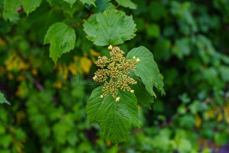 O ramo com as folhas novas verdes e os botões fecham-se acima na mola fotografia de stock