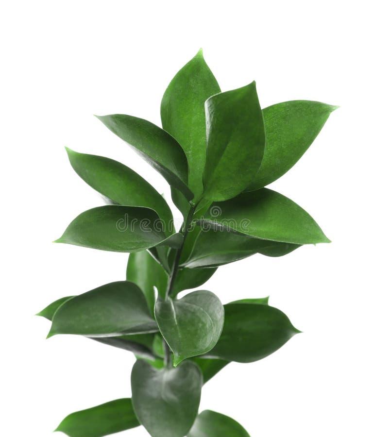 O ramo com o Ruscus verde fresco sae no fundo branco imagem de stock royalty free
