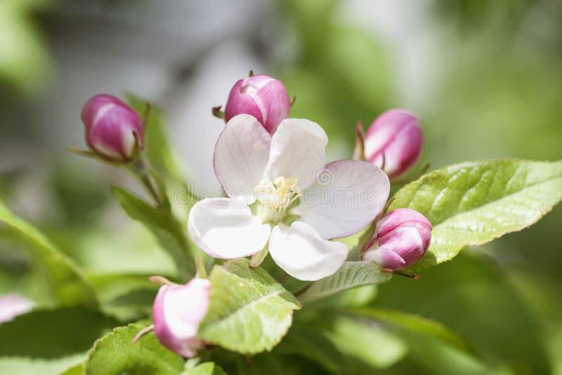 O ramo da Apple-árvore selvagem de florescência com o botão cor-de-rosa macio floresce, dia ensolarado da mola foto de stock royalty free