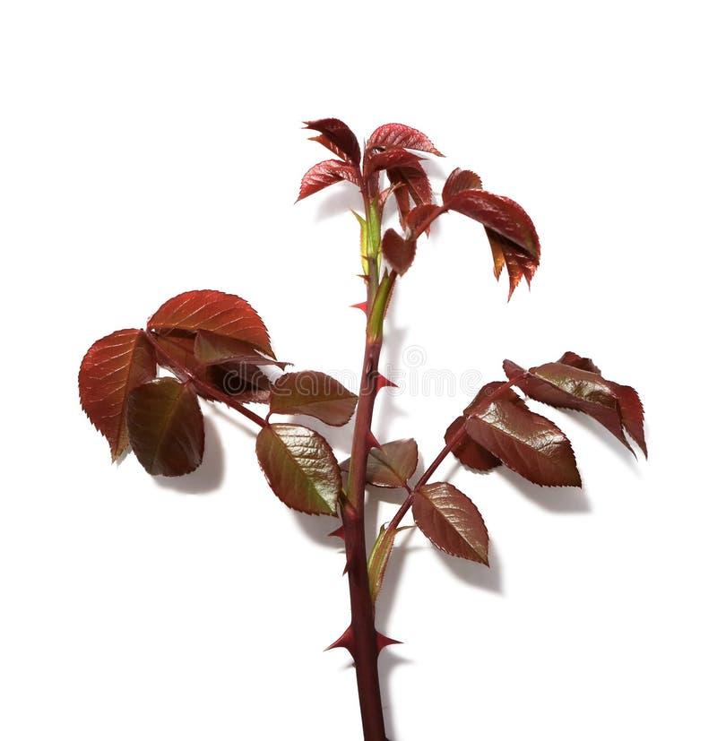 O ramo das rosas com as folhas do vermelho isoladas no fundo branco fotos de stock
