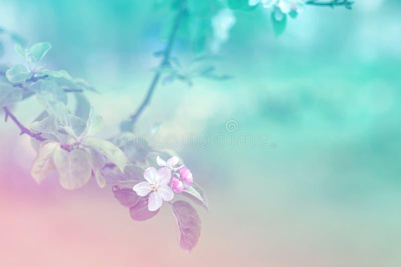 O ramo de árvore de Apple floresce em um fundo borrado verde Closep fotos de stock