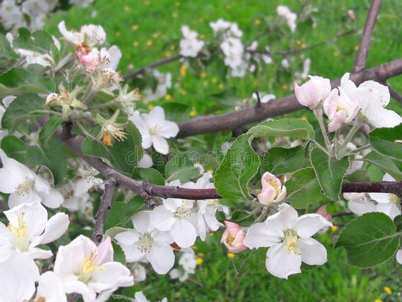 O ramo de árvore de Apple floresceu com grandes flores imagem de stock