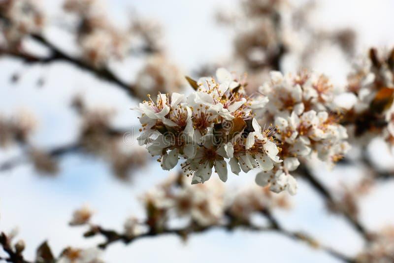 O ramo de florescência da ameixa de cereja imagem de stock royalty free