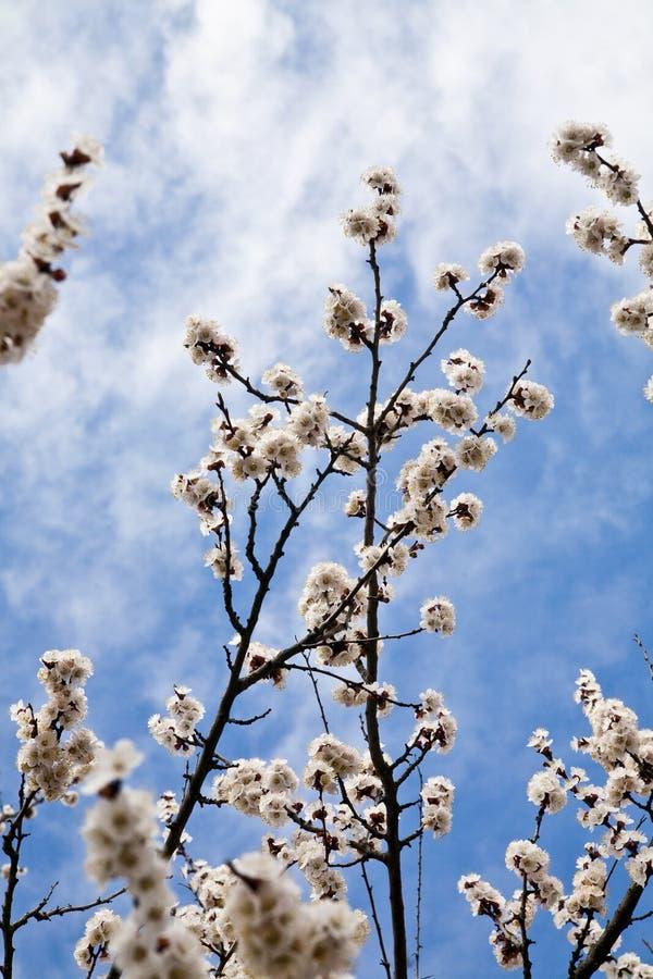 O ramo de uma árvore com uma mola floresce fotografia de stock