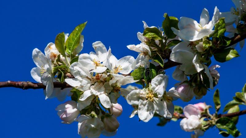 O ramo de uma árvore de fruto de florescência com as flores brancas com rosa espirra com um céu azul no fundo imagens de stock