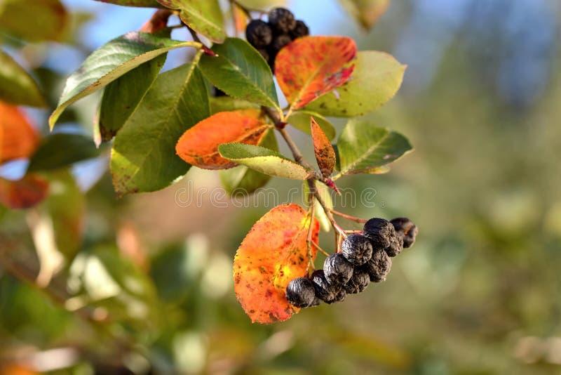 O ramo do chokeberry maduro na queda borrou o fundo Frutas fotos de stock