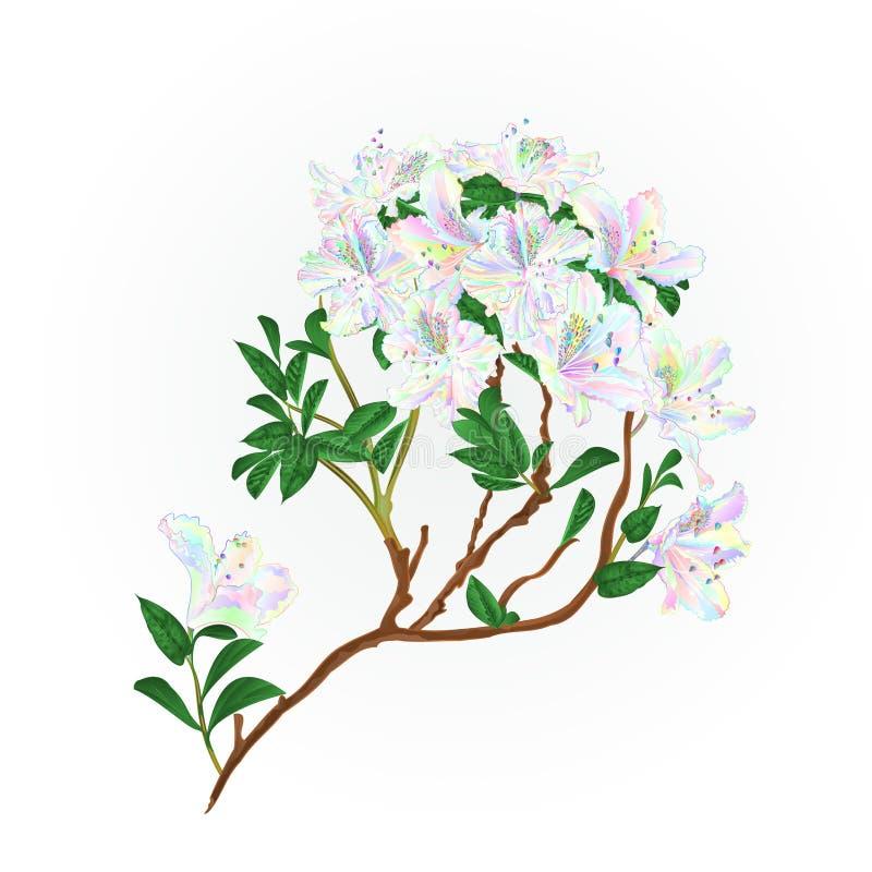 O ramo do rododendro floresce o arbusto colorido da montanha em uma tração editável da mão da ilustração branca do vetor do vinta ilustração royalty free