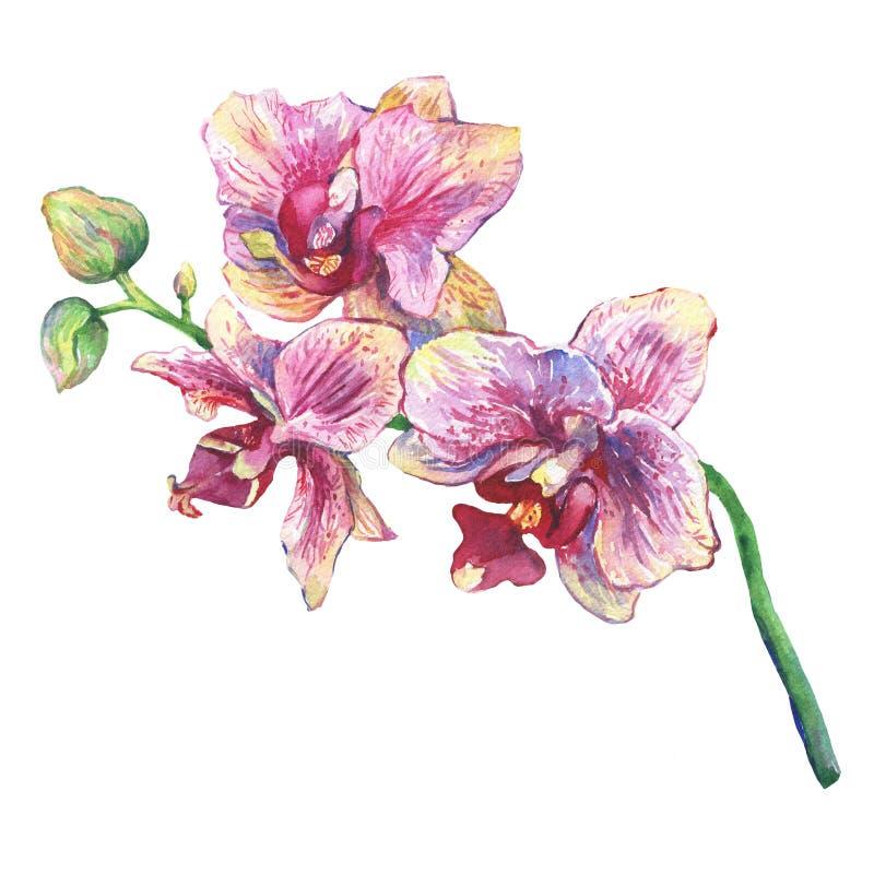 O ramo do rosa tropical de florescência floresce orquídeas, Phalaenopsis do close-up, orchis ilustração royalty free