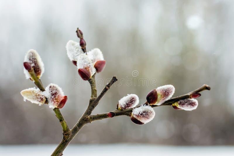 O ramo do salgueiro com florescência brota na mola adiantada, close-up imagens de stock royalty free