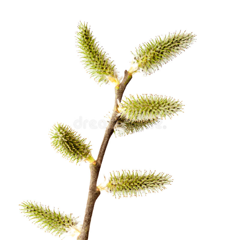 O ramo do salgueiro com florescência brota no fundo branco fotos de stock
