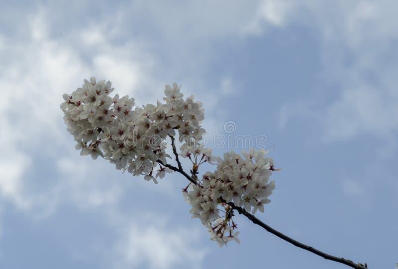 O ramo japonês da cereja da flor, mola bonita floresce para o fundo, Sófia fotografia de stock