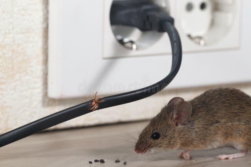 O rato do close up senta-se perto do fio mastigado em uma cozinha do apartamento imagem de stock royalty free