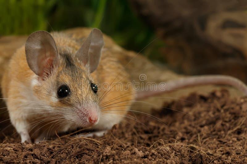 O rato espinhoso fêmea novo do close up caça no inseto fotografia de stock