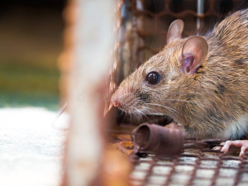 O rato estava em uma gaiola que trava um rato que o rato tem o contágio o d fotografia de stock royalty free