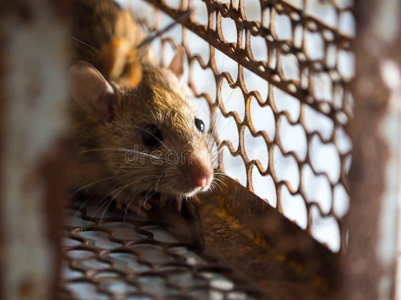 O rato estava em uma gaiola que trava um rato o rato tem o contágio a doença aos seres humanos tais como a leptospirose, praga Ca fotografia de stock