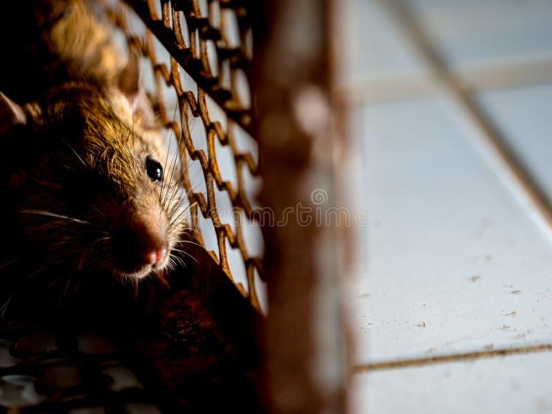 O rato estava em uma gaiola que trava um rato o rato tem o contágio a doença aos seres humanos tais como a leptospirose, praga Ca fotos de stock royalty free
