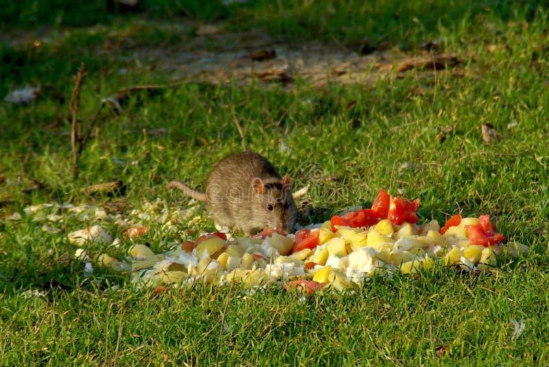 O rato grande come o desperdício abandonado fotos de stock