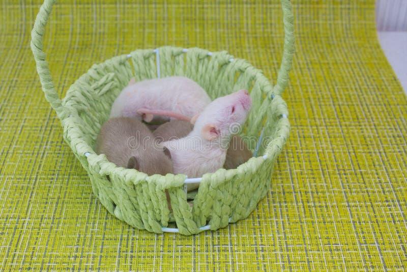 O rato pequeno está numa cesta verde Roedores decorativos bonitos fecham imagens de stock