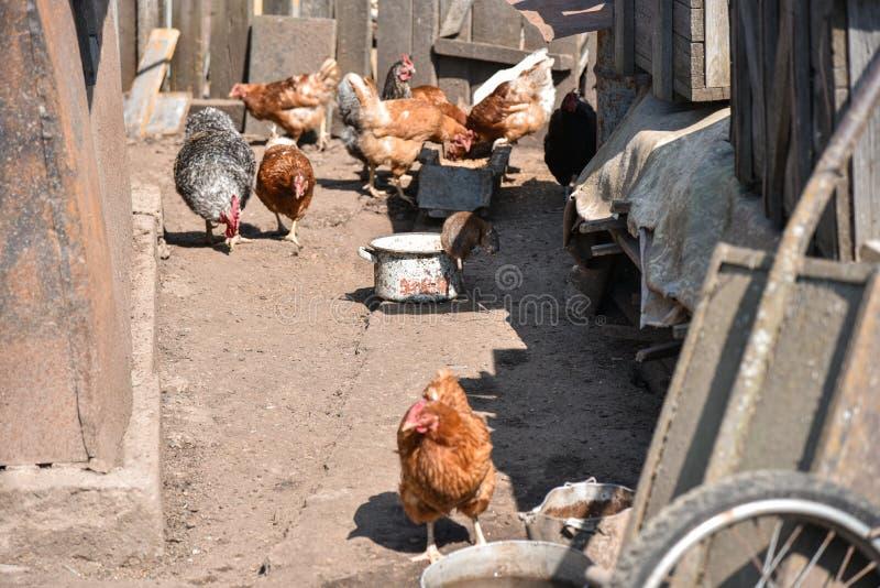O rato rouba o alimento na jarda das aves dom?sticas fotografia de stock royalty free