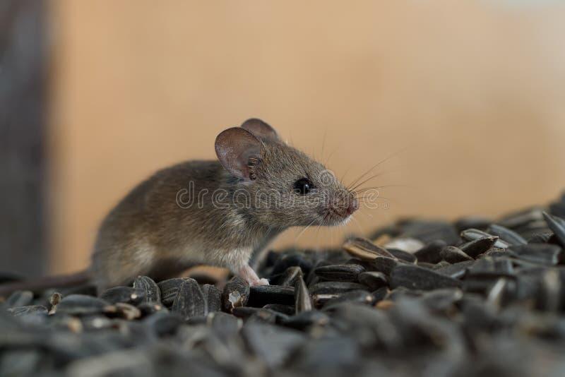 O rato selvagem novo do close up esquiva-se na pilha de sementes de girassol no armazém foto de stock royalty free