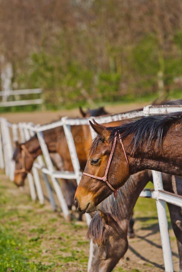 O rebanho de cavalos novos bonitos pasta no rancho da exploração agrícola fotos de stock royalty free