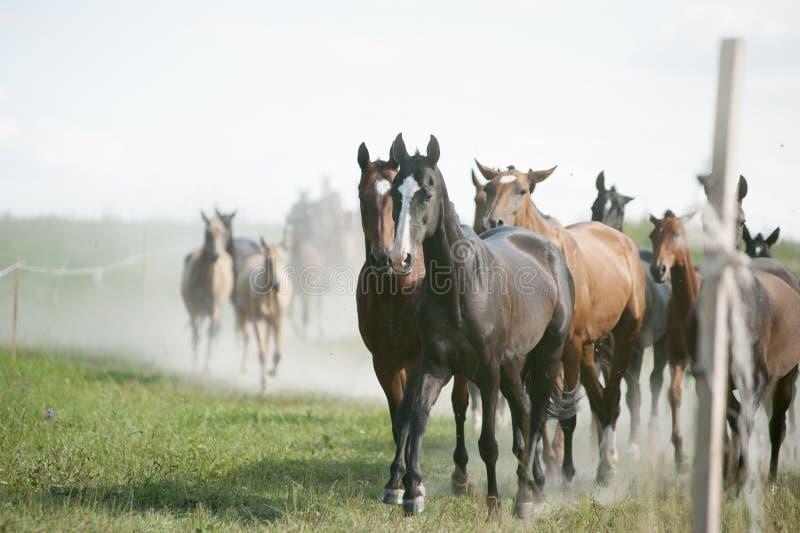 O rebanho de cavalos surpreendentes de um akhal-teke retorna em casa imagens de stock royalty free