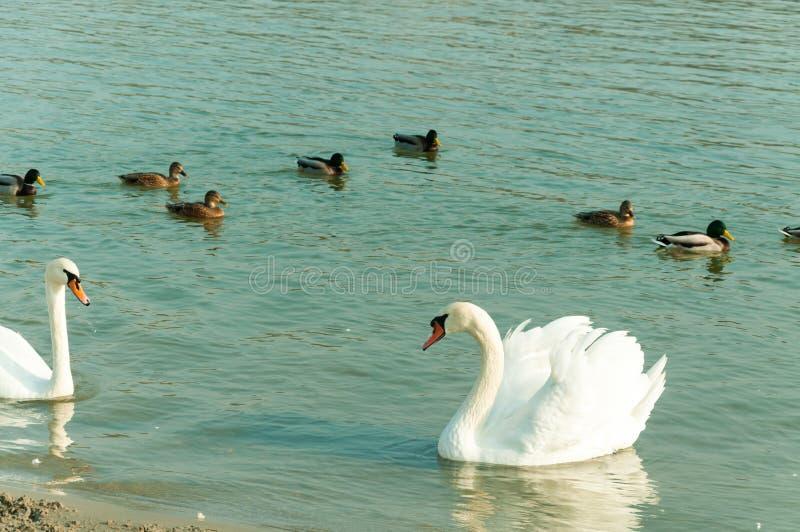 O rebanho de cisnes mudas brancas bonitas nada na água azul cercada pelo foco seletivo dos patos fotografia de stock royalty free
