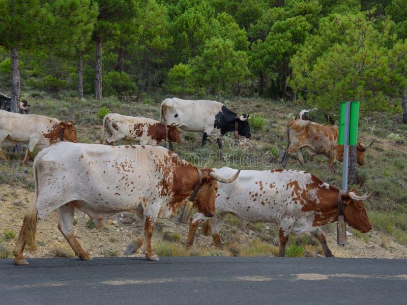 O rebanho de touros espanhóis em uma estrada secundária está indo para trás cultivar 02 imagens de stock