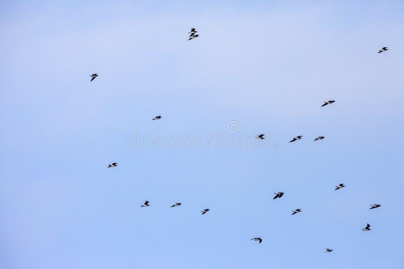 O rebanho do azul de Galápagos pagou os peitos Azul-pagados que voam sobre a água do oceano que caça peixes em Arábia Saudita jed imagens de stock