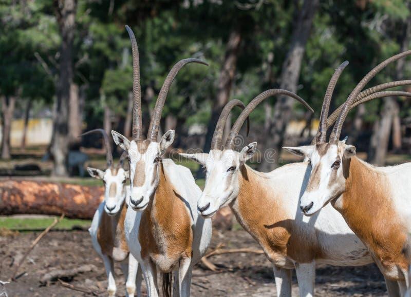 O rebanho do gazella do Oryx dos gemsboks no parque Ramat Gan do safari, Israel fotos de stock