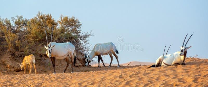 O rebanho do oryx árabe, igualmente chamou o leucoryx branco do Oryx do oryx no deserto perto de Dubai, UAE fotos de stock