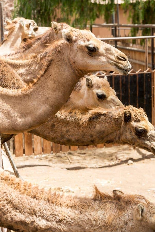 O rebanho dos camelos na exploração agrícola imagens de stock royalty free