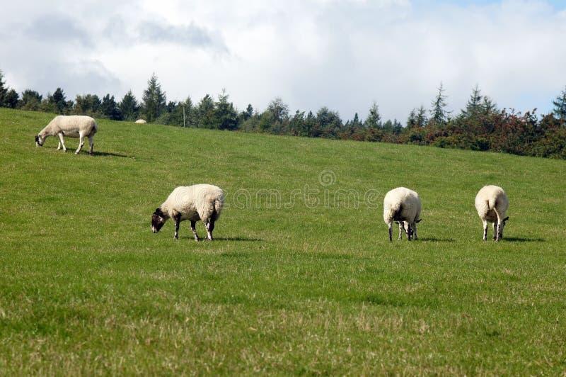 O rebanho dos carneiros está alimentando na pastagem fotos de stock
