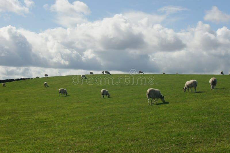 O rebanho dos carneiros está alimentando na pastagem fotografia de stock royalty free