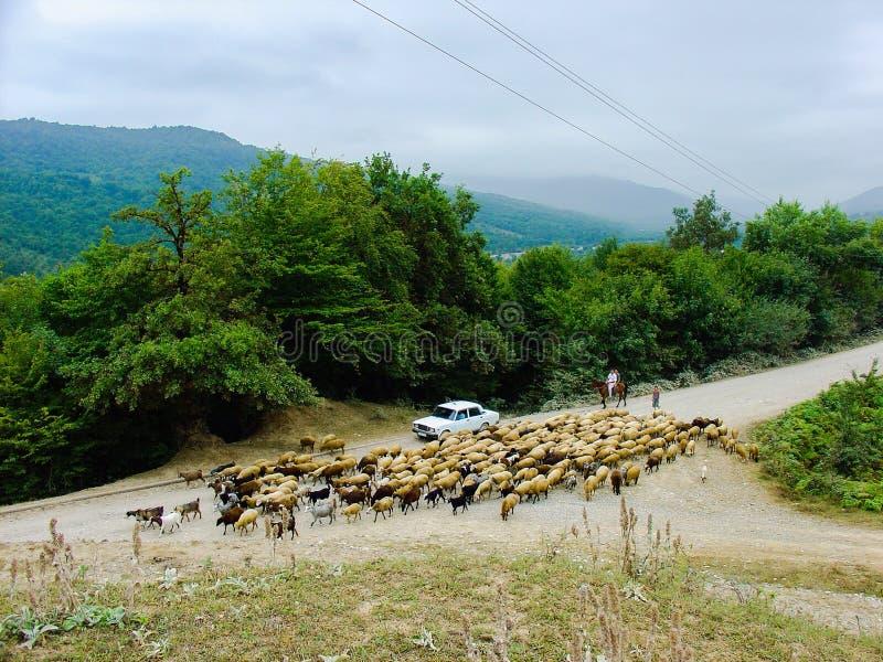 O rebanho dos carneiros volta em casa, shepherds na estrada rural imagens de stock royalty free