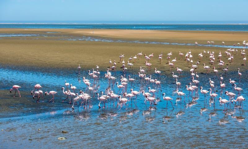 O rebanho dos flamingos em Walvis late, Namíbia foto de stock
