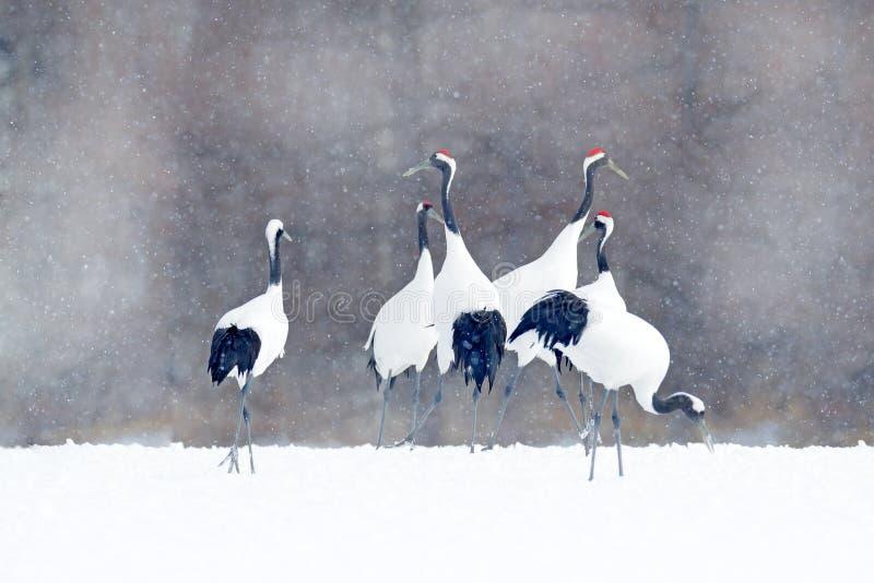 O rebanho dos guindastes com neve lasca-se, inverno de Japão Pares da dança de guindaste Vermelho-coroado com asa aberta em voo,  imagens de stock