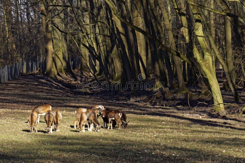 O rebanho europeu na floresta, animais selvagens do mouflon e protege no natue imagem de stock royalty free