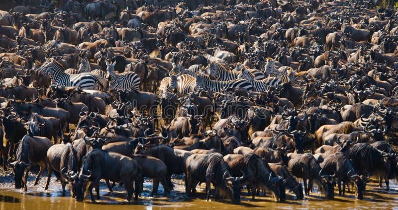 O rebanho grande do gnu é sobre Mara River Grande migração kenya tanzânia Masai Mara National Park fotos de stock royalty free