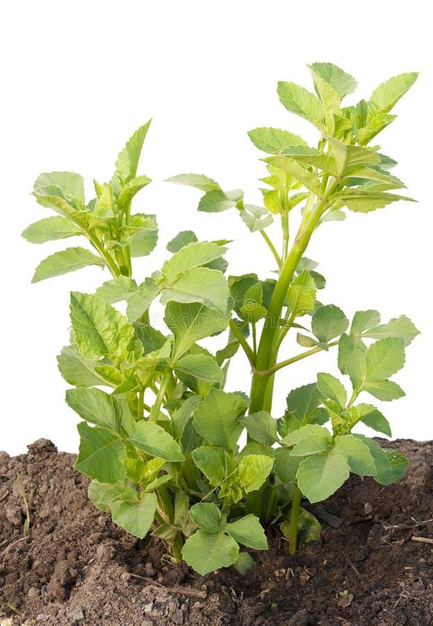 O rebento novo, sprout uma dália do jardim imagens de stock