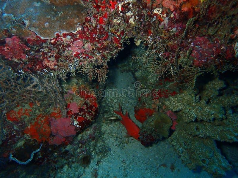 O recife de corais saudável e bonito na ilha de Sipadan, Semporna, Tawau Sabah, Malásia, Bornéu foto de stock royalty free
