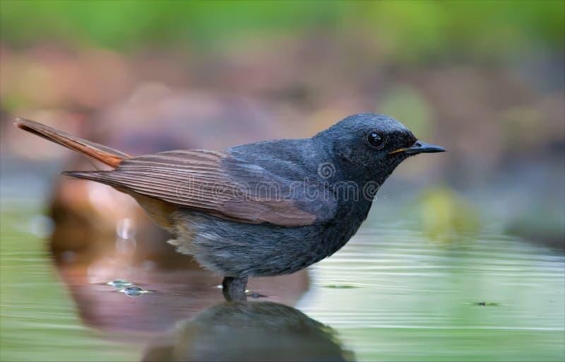 O redstart preto está profundamente na lagoa de água fotografia de stock royalty free